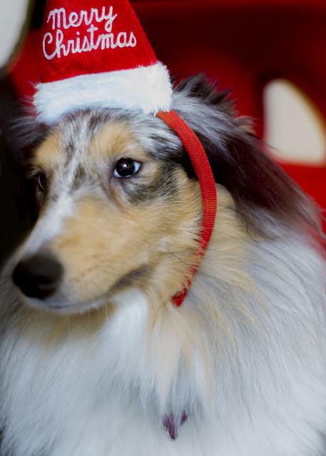Daisy the dog Says Merry Christmas