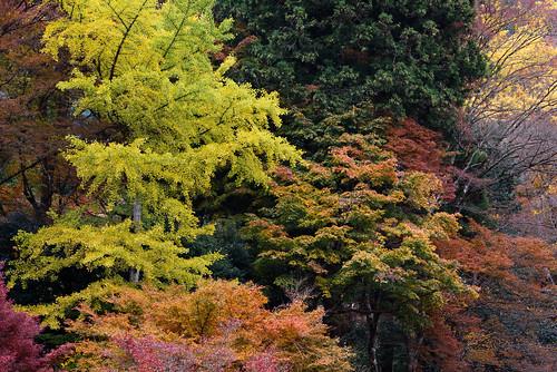 丹波市 兵庫県 japan 丹波 高源寺 寺院 紅葉 autumnleaves イチョウ