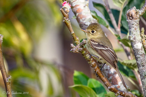 Pacific-slope Flycatcher | by Bob Gunderson