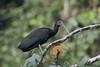 Green ibis (Mesembrinibis cayennensis) by Ron Winkler nature