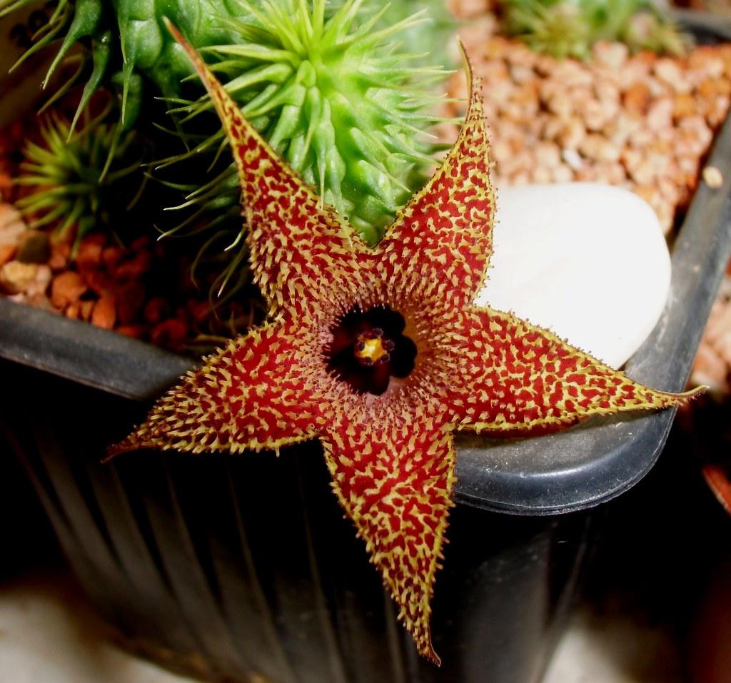 Huernia pillansii N.E.Br. flower