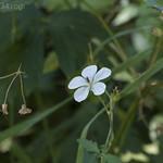 White Geranium