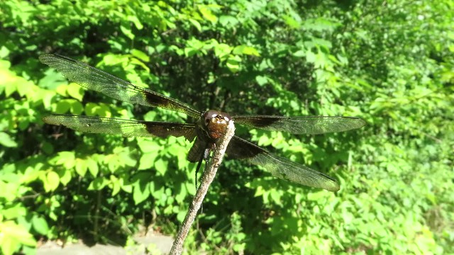 Dragonfly Macro HD Video taken with a Canon SX280 HS MVI_1320