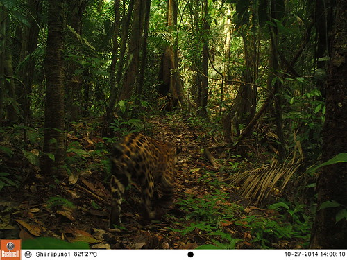 Jaguar | by Yasuni Wilderness