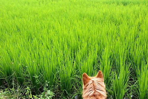 dog thailand hund chiangmai marley ricefield 犬 reisfeld paddyfield bearbeitet