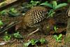 Sri Lanka Junglefowl,  female,  Gallus lafayettii, by Graham Ekins