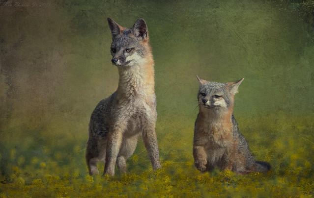 Gray Fox Mom and Pup