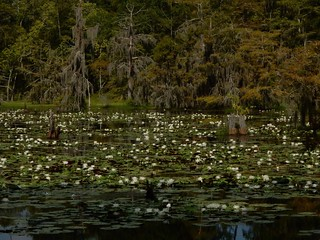 Lotus in the swamp.