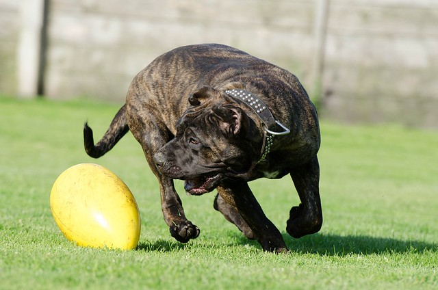 Mastiff breeds Canary Mastiff