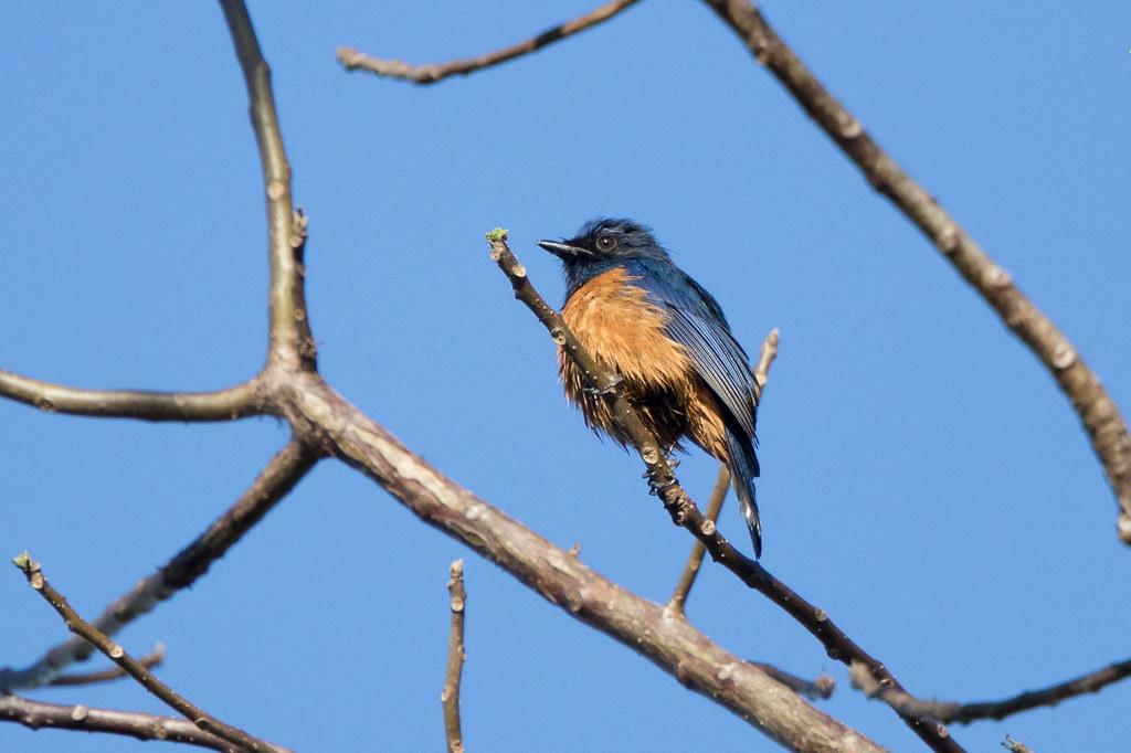 Timor Blue-Flycatcher (Cyornis Hyacinthinus Hyacinthinus
