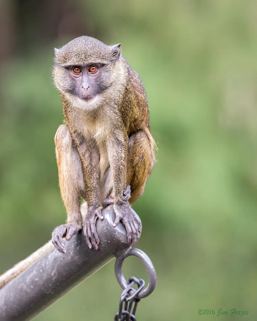 Allen's Swamp Monkey (Allenopithecus nigroviridis) - San D…   Flickr