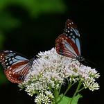 あさぎいろ 羽衣纏い 淑やかに  真田丸の里より。現在、特別天然記念物コウノトリが、1羽滞在中です。真田幸村にちなんで、ゆきちゃんと上田市では命名されています。皆様に幸せを運んで来ます様に。 Butterfly JAPAN    Chestnut Tiger Butterfly    NAGANO  JAPAN  アサギマダラ。湯の丸高原。長野県。