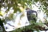 Bicoloured Hawk @ Home, Accipiter bicolor by Daniel Mclaren .:. Naturalist Guide CR
