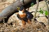Falcão-de-peito-laranja (Falco deiroleucus) by Cláudio Dias Timm