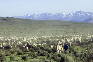 Sheep move through public lands near Shoshone, Idaho | by mypubliclands