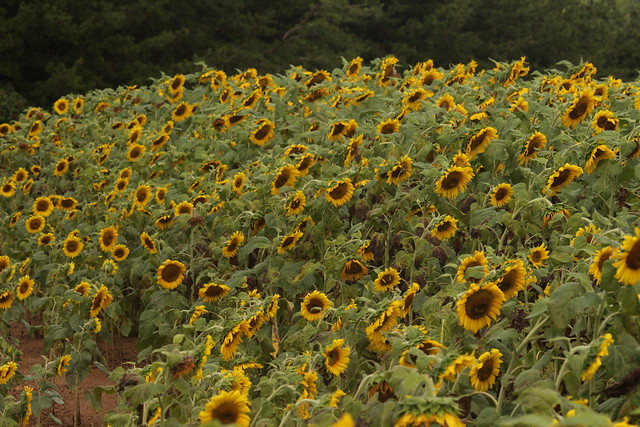 NCDOT Pollinator Bed: I-74 near Mt. Airy