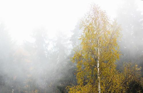 autumn plants white mist mountain fall nature fog forest canon landscape eos darkness foggy bulgaria birch spruce shining exposed moisture betula vitosha betulla betulaceae 600d