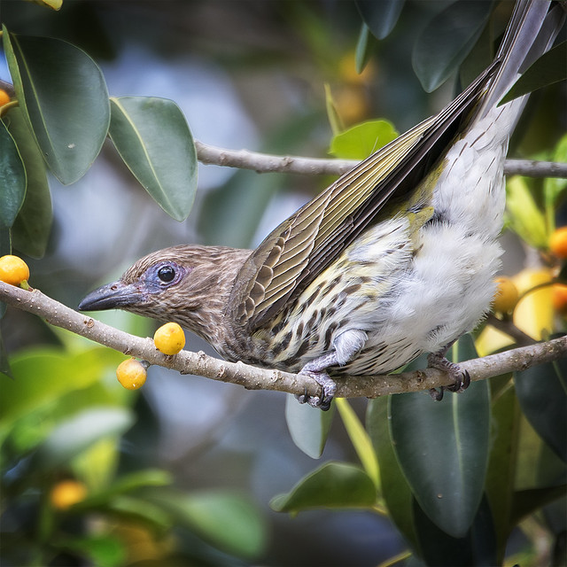 ♀ australasian figbird #1