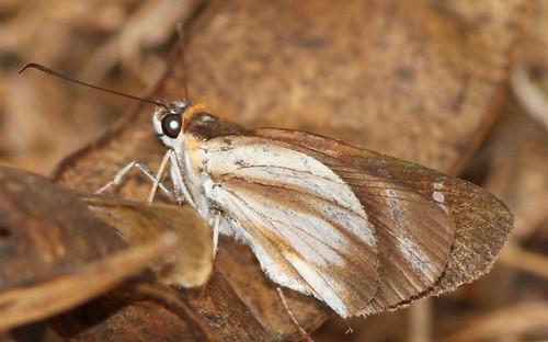 butterfly ecuador hesperiidae hesperiinae jorupe loja moncini richhoyer urracalodge