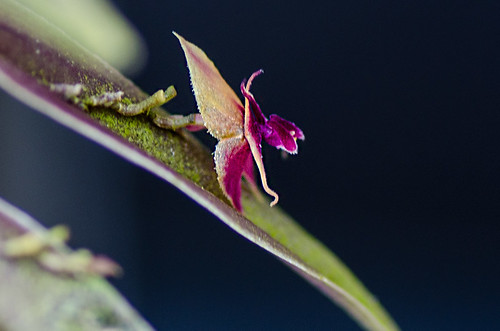 Lepanthes meniscophora | by orchidkarma