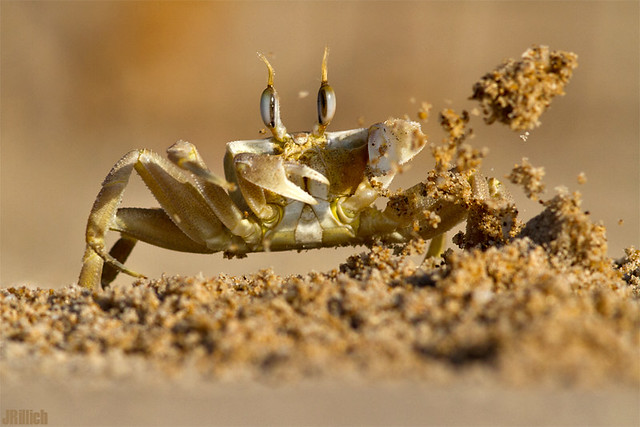 sand throwing ghost crab @ Tel Baruch Beach Tel Aviv Israel 2015 urban nature