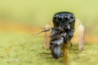 Jumping spider (Pystira ephippigera) - DSC_2899