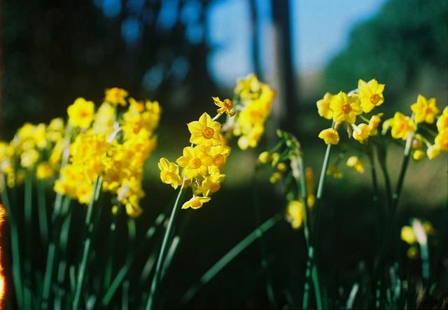 Little daffodils.