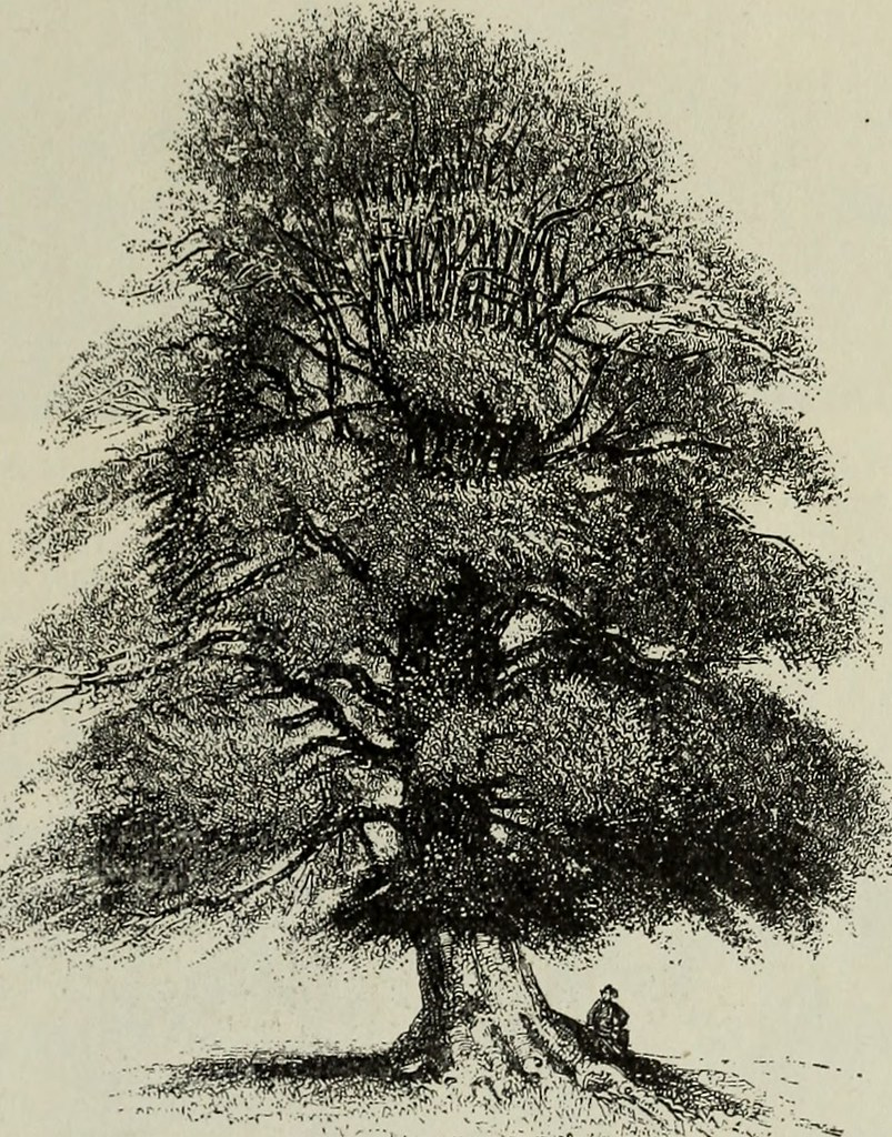 IMAGE FROM PAGE 8 OF TREES FOR LONG ISLAND 1902 FLICKR