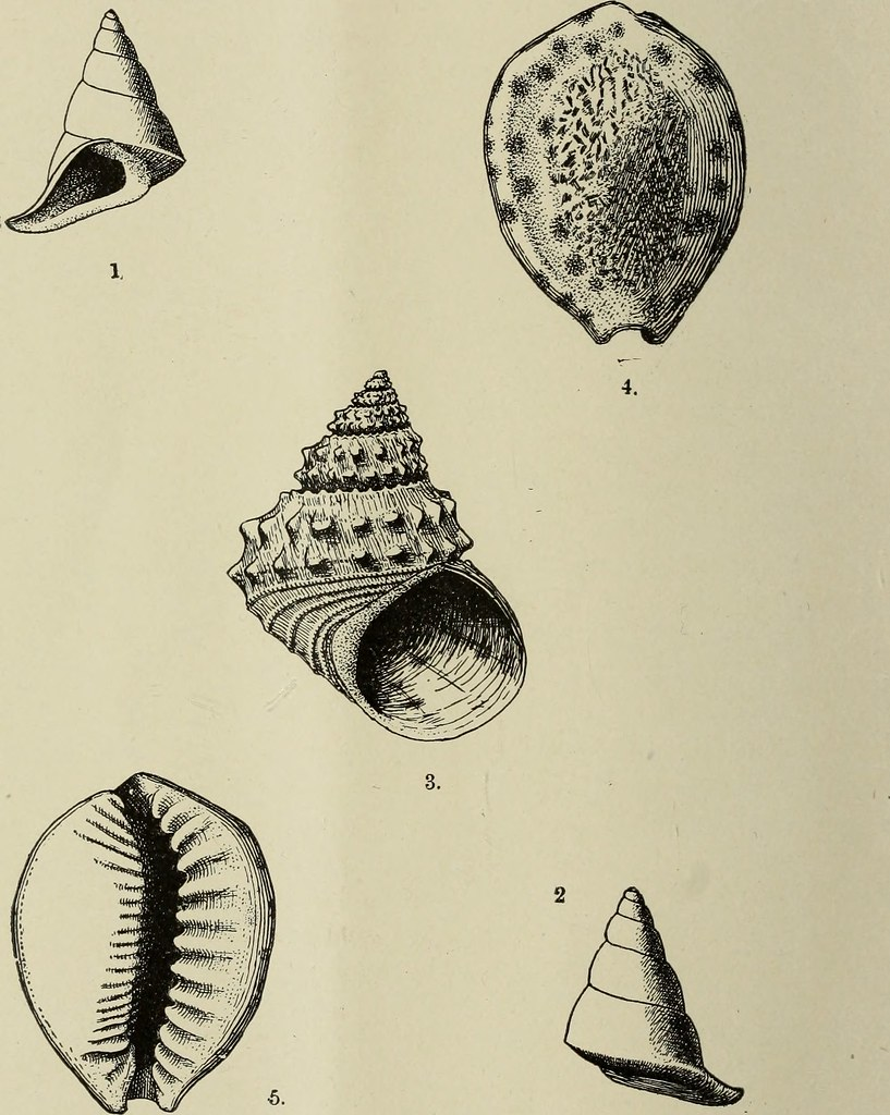 Image From Page 305 Of The Conchologists Exchange 1886