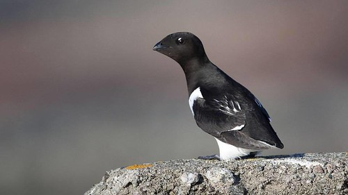 The little auk or dovekie (Alle alle) Alkekonge | by NTNU, Faculty of Natural Sciences