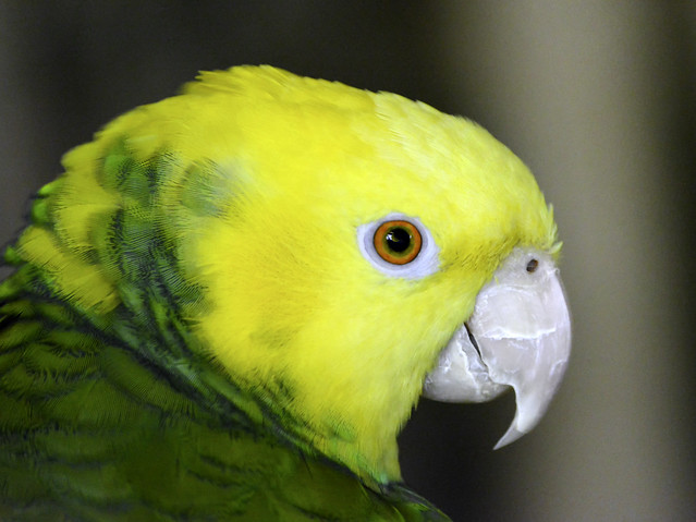 Yellow Headed Amazon Portrait