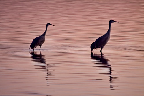 pink sunset shadow lake reflection bird fall water crane michigan sandhillcrane whitmore whitmorelake