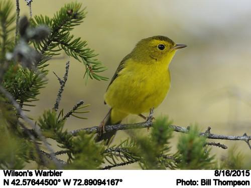 birds ma wilsonswarbler hawleybog cardellinapusilla