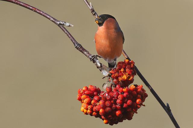 L'ingordo ciuffolotto - The greedy Bullfinch