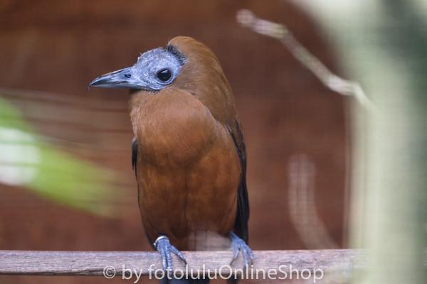 Kapuzinerkotinga_Perissocephalus tricolor-4