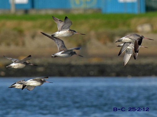 Bar-tailed Godwits 25-2-12 | by Brian Carruthers-Dublin-Eire