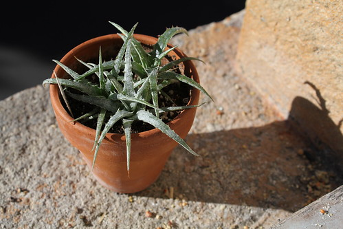 semis de Bromeliaceae 22525201649_8ca7147304