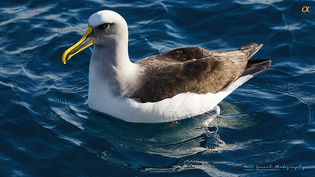 Seagull (Lifer #74)