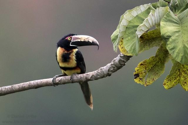 Collared Aracari / Pteroglossus torquatus / Pichí Collarejo