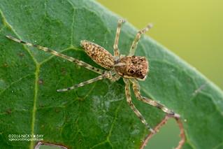 Jumping spider (cf. Spartaeus sp.) - DSC_4914