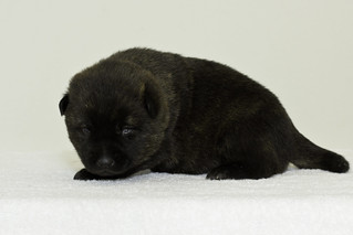 Nori-Litter3-Day17-Pup3(male)c | by brada1878