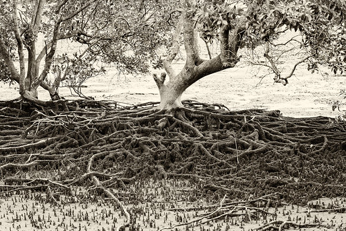 tree nature sepia landscape roots mangroves treeroots mangroveroots nikond800 nikon8004000mmf4556lens