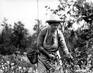 281578 Huckleberry Picker, Columbia NF, WA 1933 | by Forest Service Pacific Northwest Region
