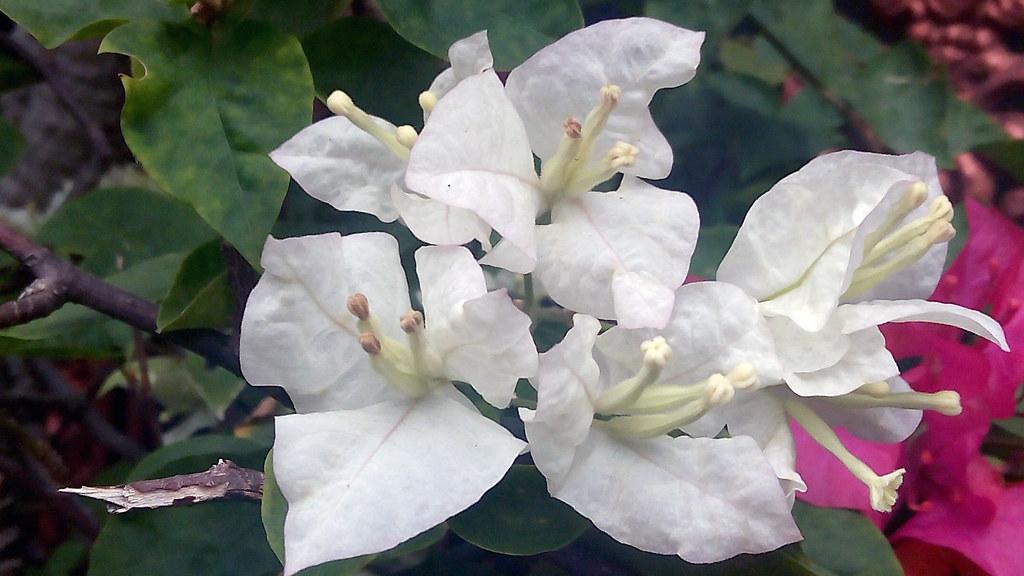 Bunga Kertas Bougenville Tofikkhu Flickr