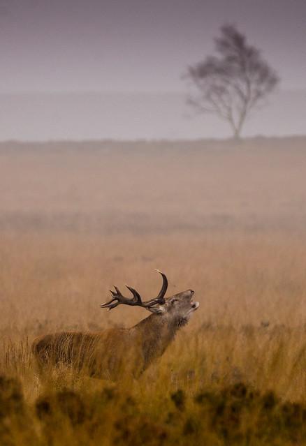Red Deer Stag, Big Moor