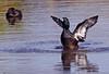New Zealand scaup - native diving duck Aythya novaeseelandiae by Maureen Pierre