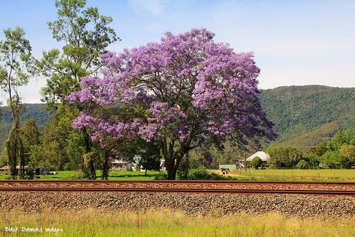australia nsw jacaranda bignoniaceae jacarandamimosifolia midnorthcoast mtgeorge manningvalley northcoastrailwayline nowendocroad manningvalleylandscapes