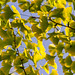 Ginkgo - Photo (c) Sorin Mutu, some rights reserved (CC BY-NC-SA)