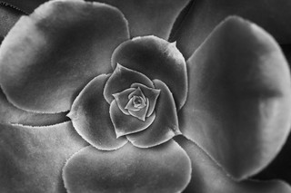 Irish Rose | by Joe_R