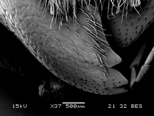 mandible of eye of hornet